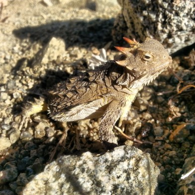 PCT Horned Toad