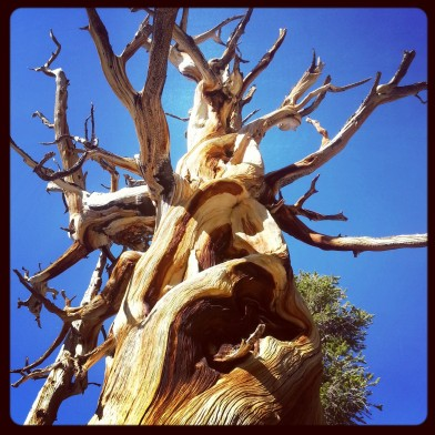 PCT Gnarly Tree