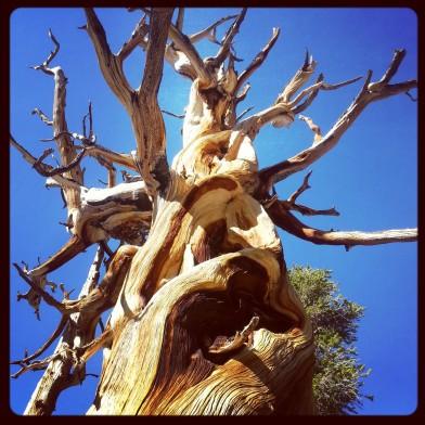 PCT Gnarly Tree
